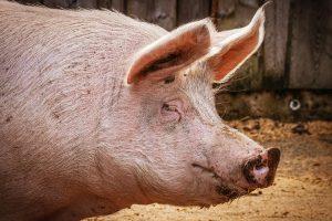 БЕДСТВЕНО ПОЛОЖЕНИЕ: В Свищов избиват над 17 хил. прасета