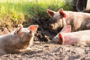 ОФИЦИАЛНО: Има огнище на чума по свинете и във Видин