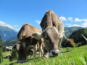Туристи намериха трупове на 6 крави в Рила