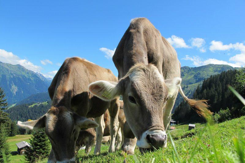11 ветеринари от Силистренско са заразени с опасната ку-треска