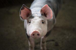 Над 24 хил. прасета ще бъдат умъртвени в шуменско
