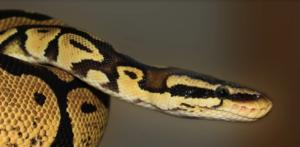 Зловещи змии са източникът на смъртоносния китайски вирус