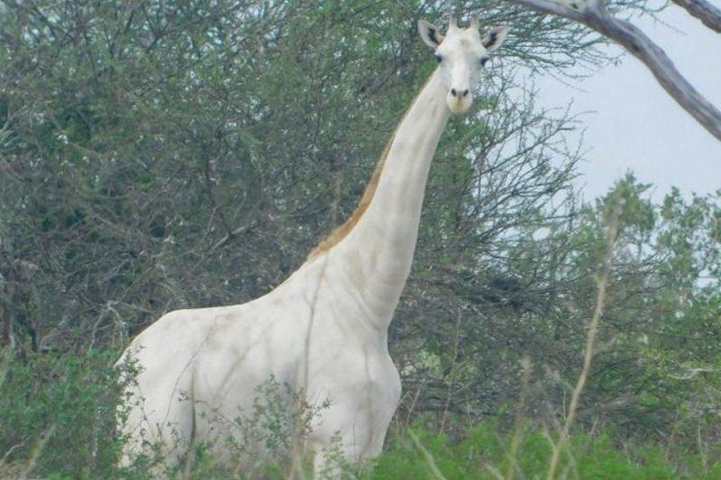 Бракониери убиха единствения в света женски бял жираф и малкото й (ВИДЕО)