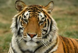 Тигър в Ню Йорк се зарази с коронавирус