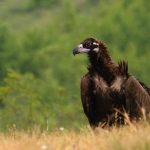 черен лешояд, застрашен вид, застрелян