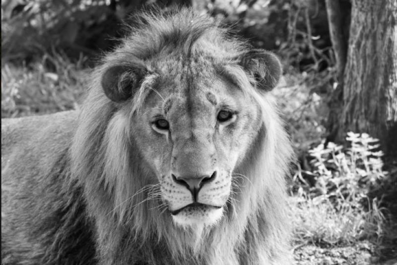 Лъвчето Масуд от Разград почина в Нидерландия