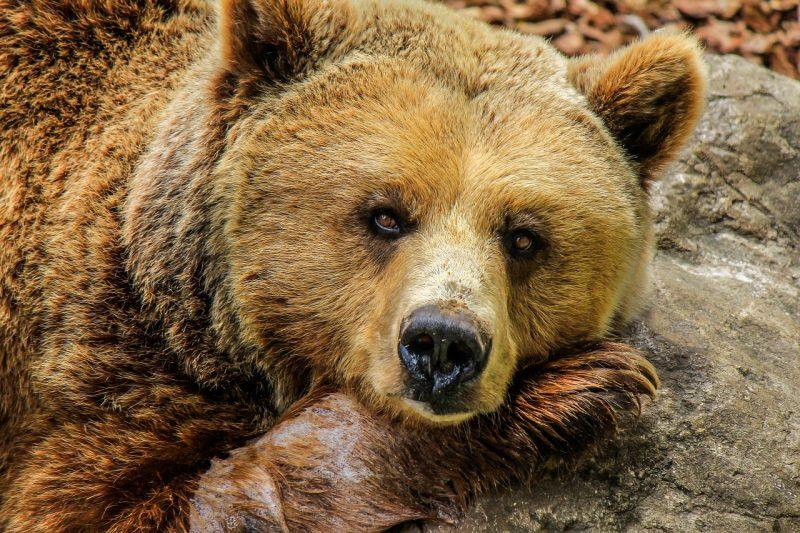 Разрешиха мечката, нападнала жена в Белица, да бъде отстреляна