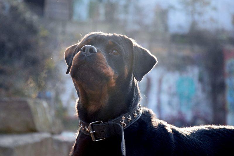 Ротвайлер нахапа мъж и жена, полицията опита да го застреля, но кучето избяга